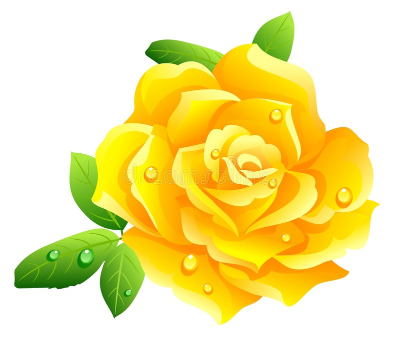 Yellow rose. Isolated on white