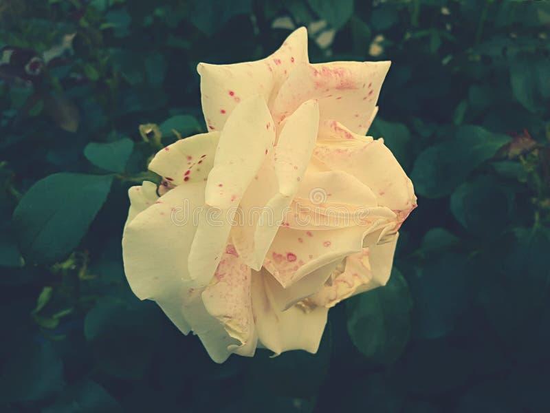 Yellow Rose Free Public Domain Cc0 Image