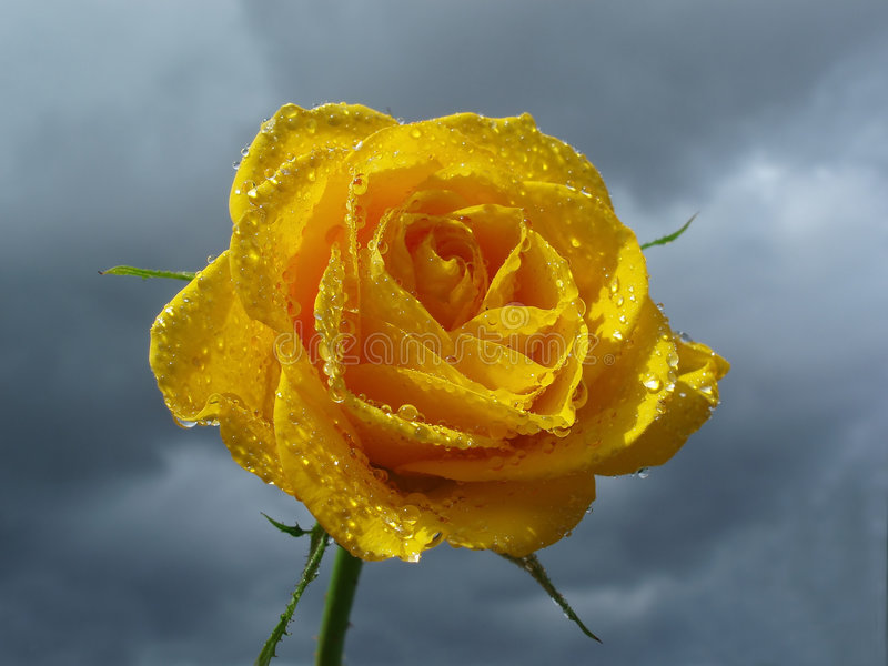 Yellow rose against sky with clouds stock photo