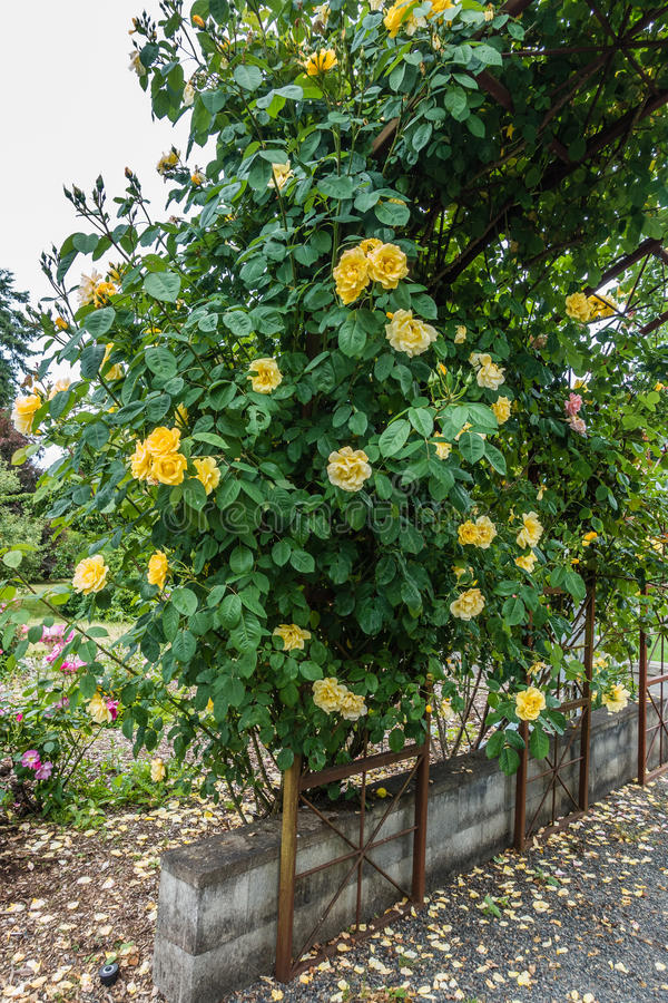 Yellow Rose Arbor 2 royalty free stock images