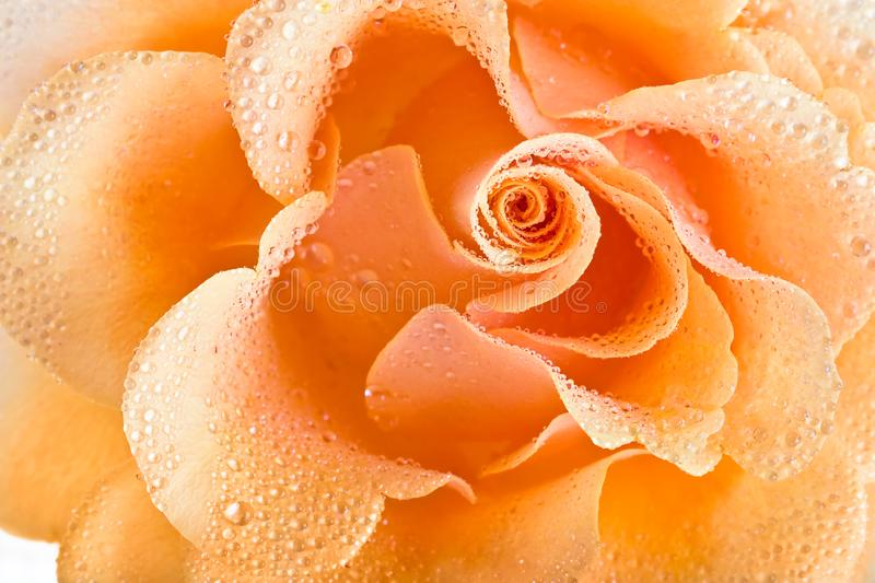 Yellow rose background stock images