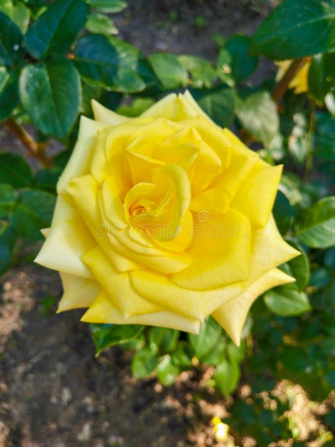 Yellow rose on background of green leaves. Yellow rose on background of . yellow rose on background of, green, closeup, petals, flora, blossom, nature, outdoor stock photography