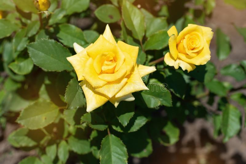 Yellow rose on a background of green  park. Yellow rose closeup on royalty free stock photos