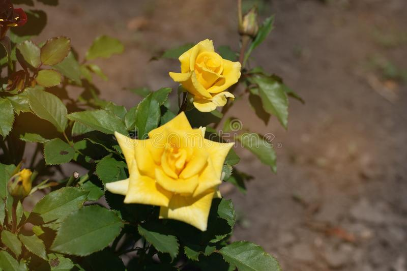 Yellow rose on a background of green park.  Yellow rose closeup on a bush in the park royalty free stock images