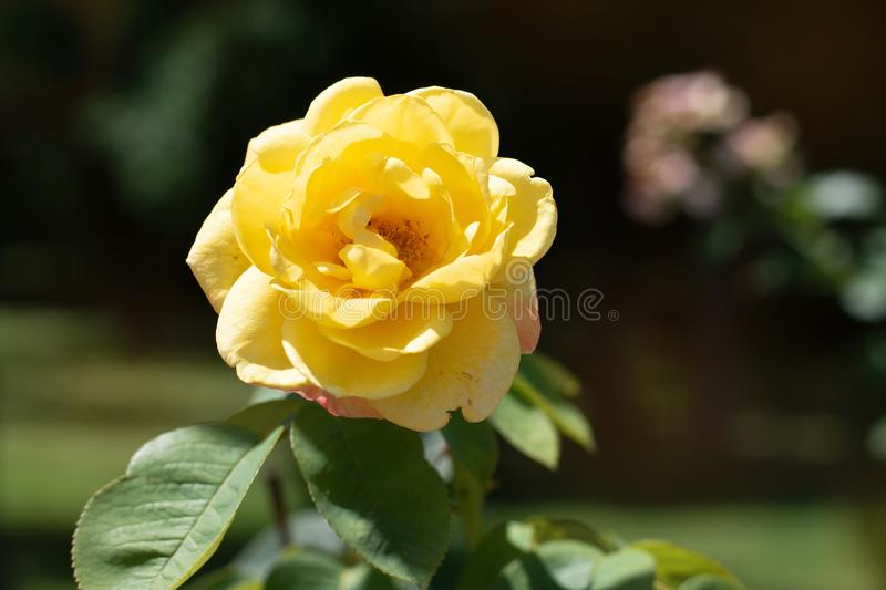 Yellow rose on a background of green park. Yellow rose closeup on a bush in the park royalty free stock image