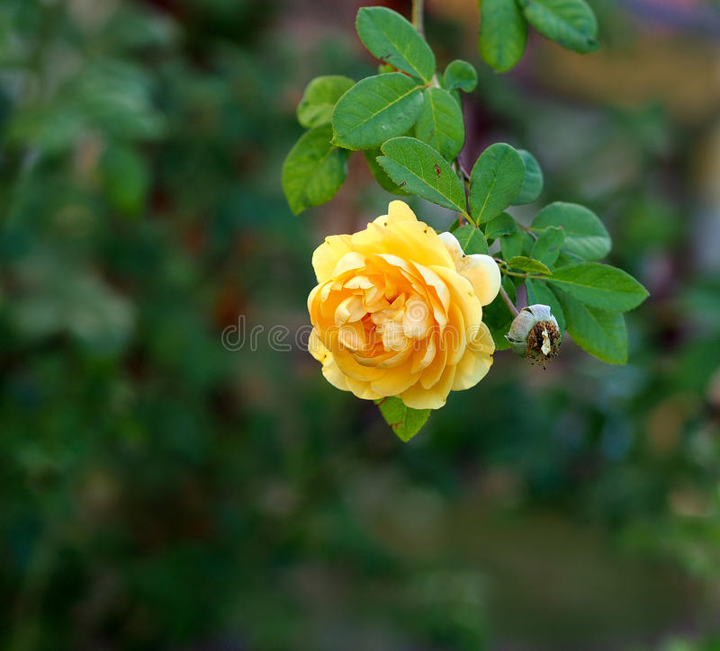A yellow rose. A beautiful yellow rose in contrast to a a faded deadhead stock photos