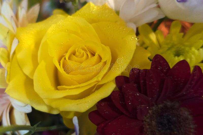 Yellow rose. Beautiful and gorgeous yellow rose stock photography