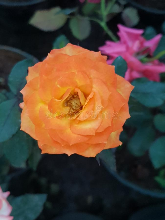Yellow rose. Beautiful yellow color rose flower stock images