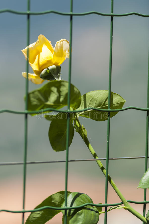 Yellow rose behind fence royalty free stock images