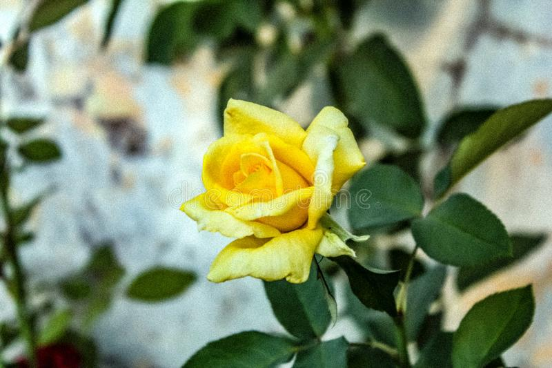 yellow rose that blooms beautiful at the back of nature royalty free stock photo