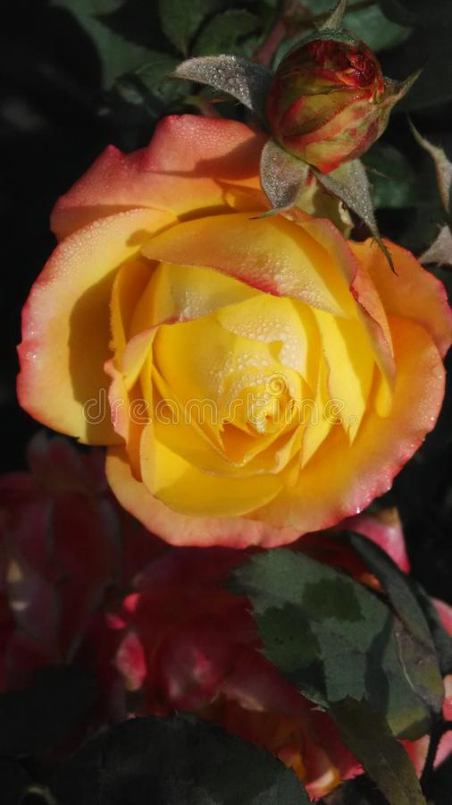 Yellow rose blossoms. Yellow rose nature royalty free stock images