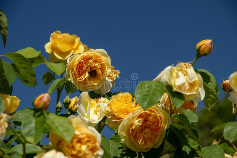 Yellow rose with bumble bee on blue sky background royalty free stock image