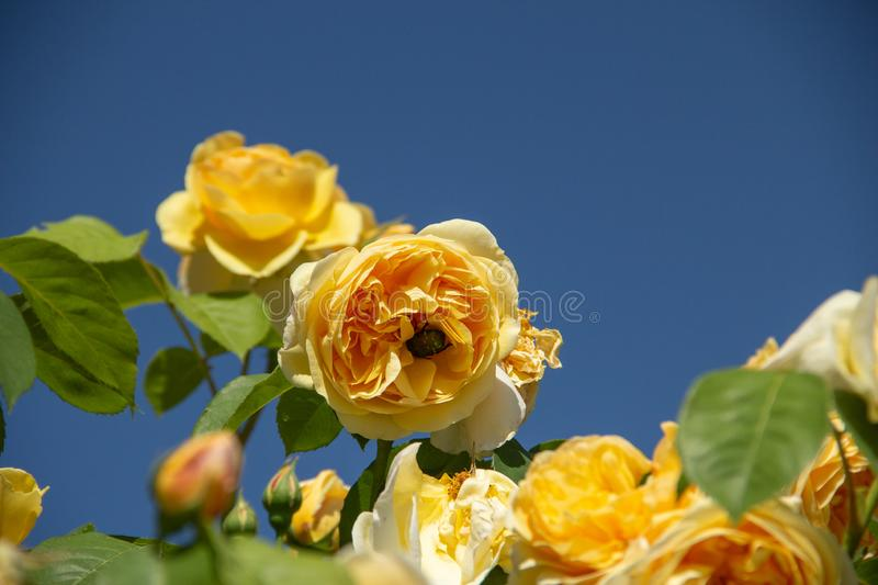 Yellow rose with bumblebee stock images