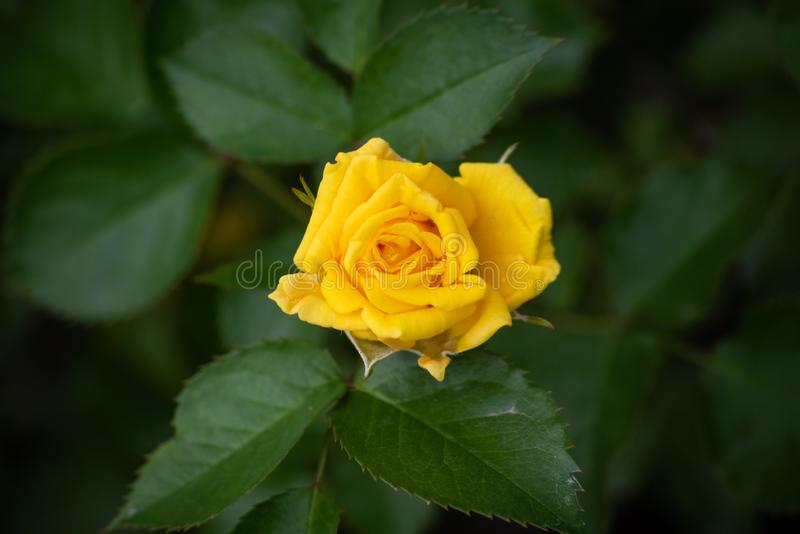 Yellow rose bud on a bush. On top, plant, flower, background, petal, nature, floral, closeup, blossom, summer, beauty, celebration, color, beautiful, decoration royalty free stock image