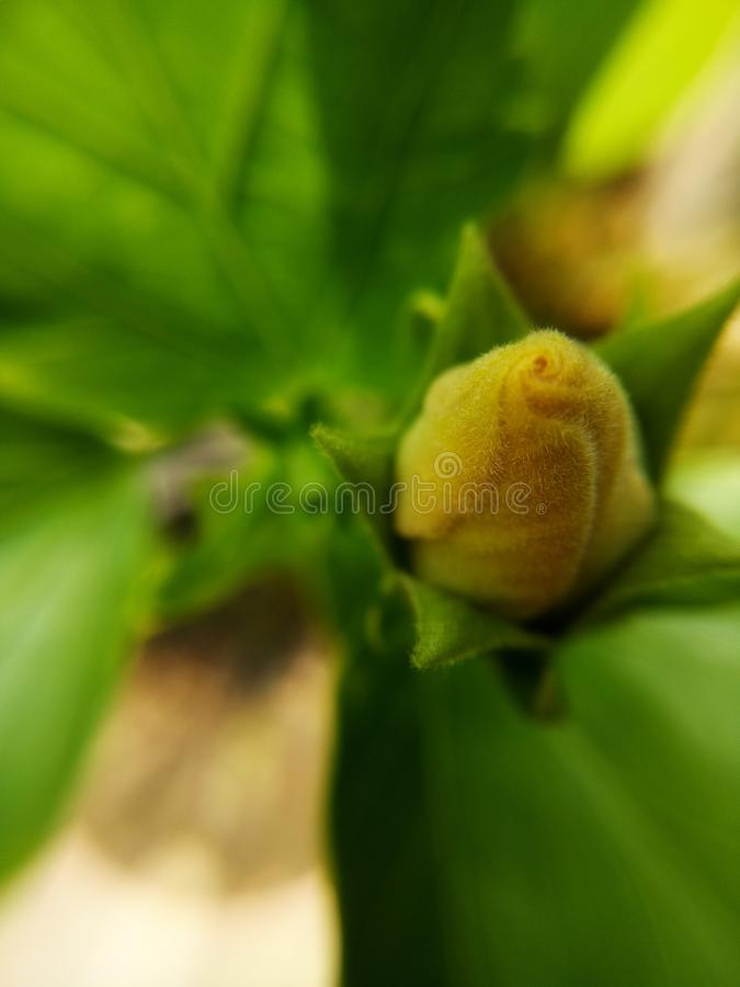 Yellow rose bud in the garden stock image