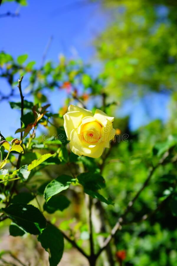 Yellow Rose bud with green leaf background. Yellow rose bud with with green leaf background stock photos