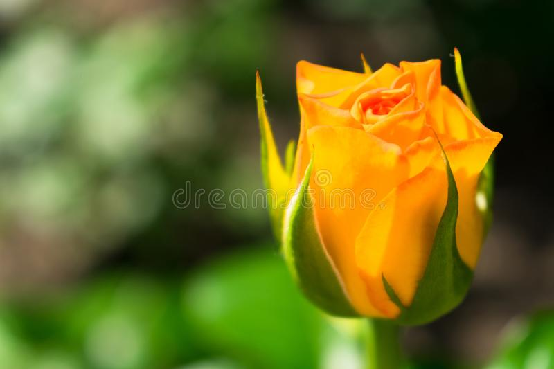 Yellow rose. Unopened rose bud in the garden. Yellow rose bud. Unopened rose bud in the garden stock photography