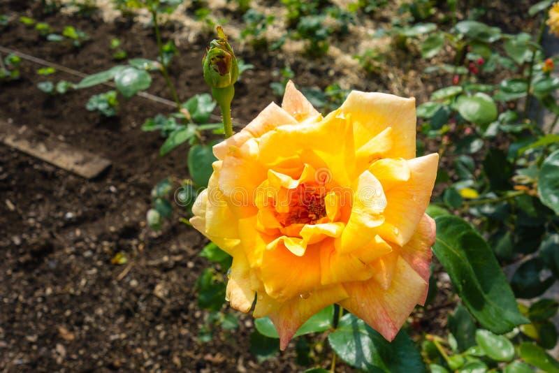 Yellow rose on the bush royalty free stock image