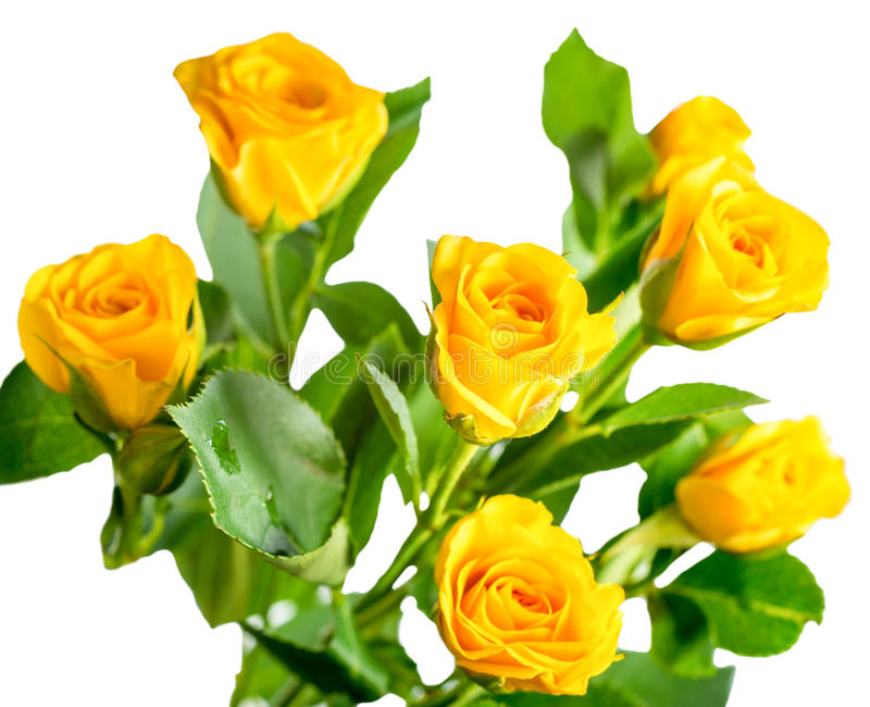 Yellow rose bush flowers isolated on white stock photography
