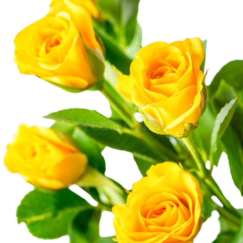 Yellow rose bush flowers isolated on white stock image