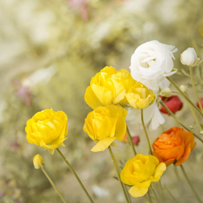 Yellow rose bush flowers. royalty free stock photography