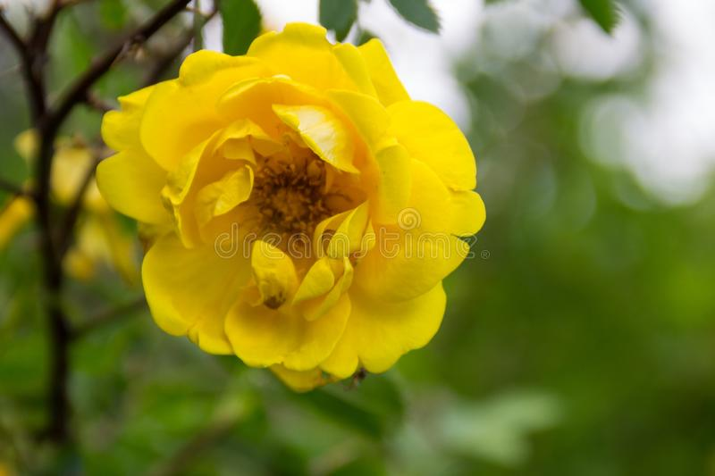 Yellow rose on a bush in garden royalty free stock images