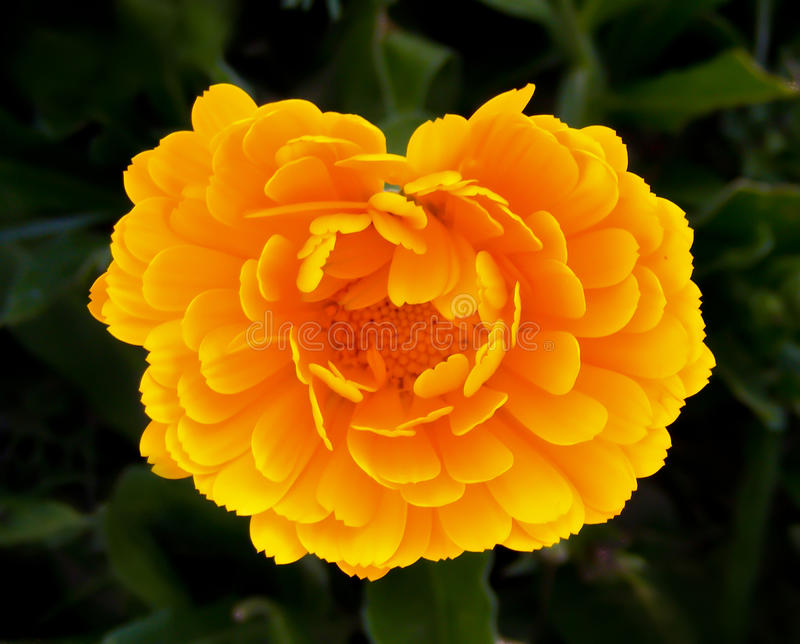 Download Yellow rose stock photo. Image of shape, blooms, beautiful - 26967996