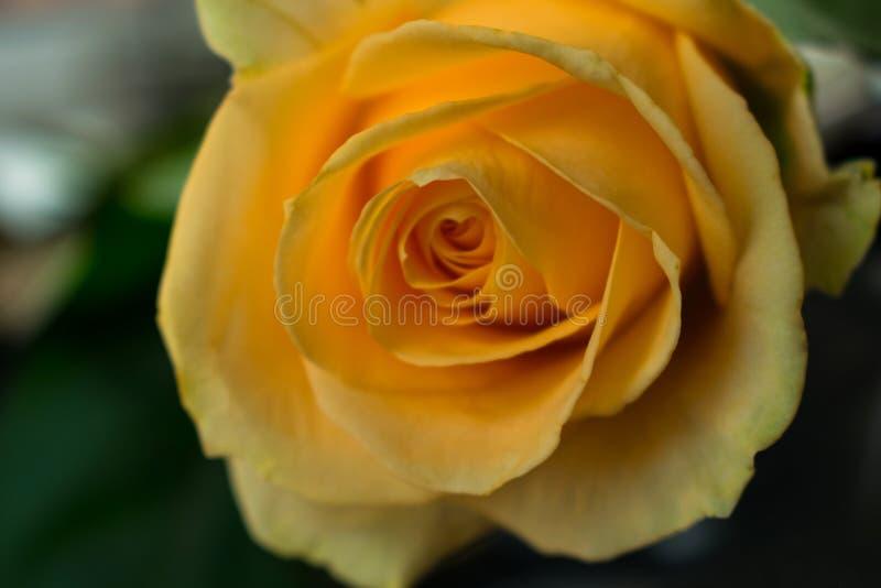 Yellow rose close up. One yellow rose close plan,separation symbol royalty free stock images