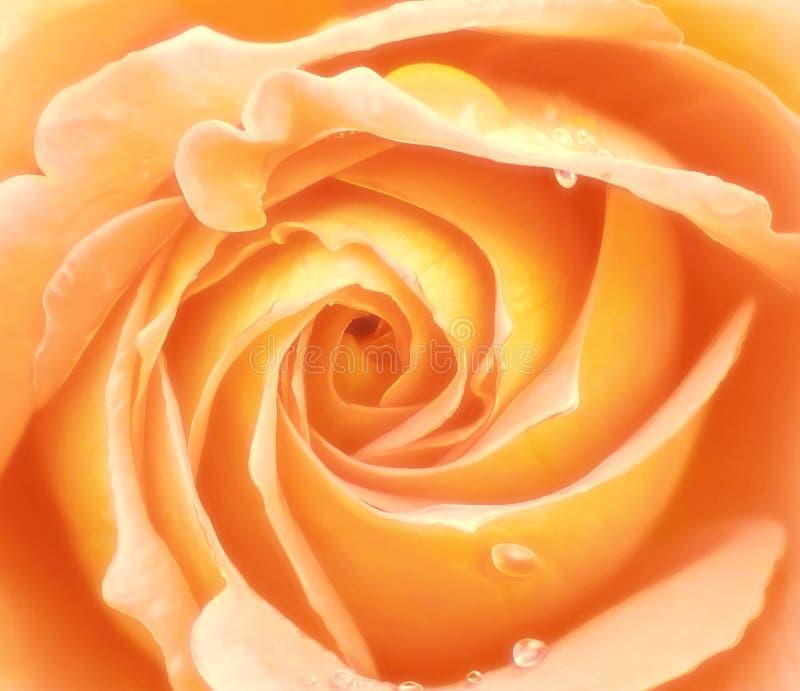 Yellow rose closeup royalty free stock images