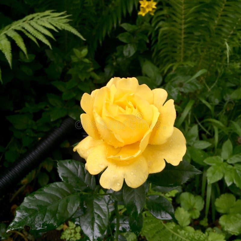 Download Yellow rose stock image. Image of danish, garden, summer - 89412215