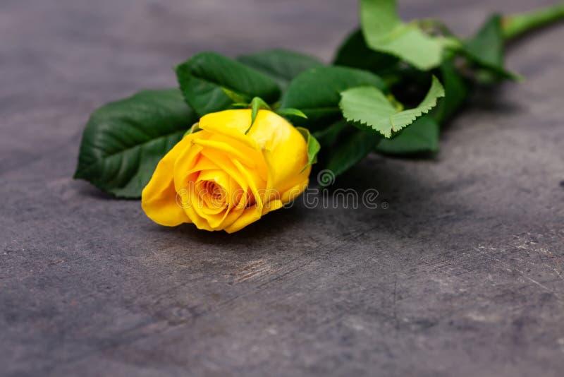 Yellow rose on on dark background.  stock photo