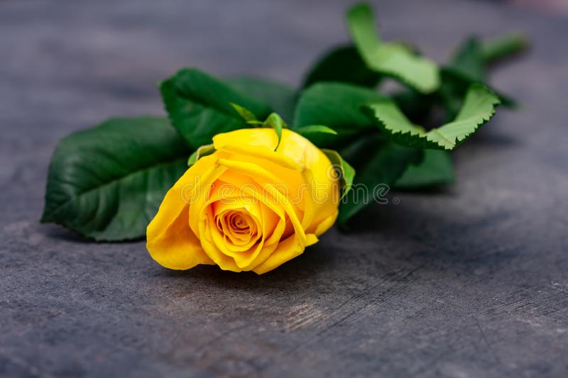 Yellow rose on on dark background.  royalty free stock photography