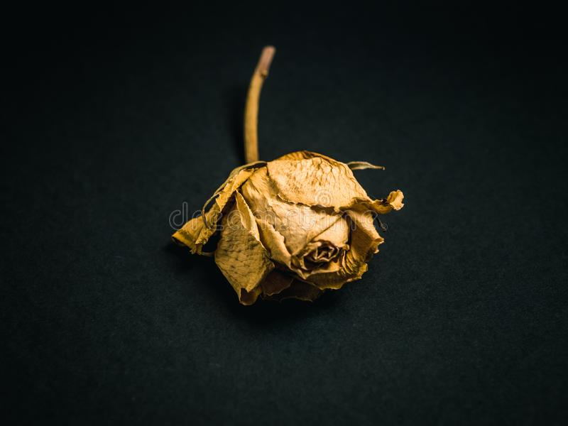 Yellow rose. Dried flower stock photos