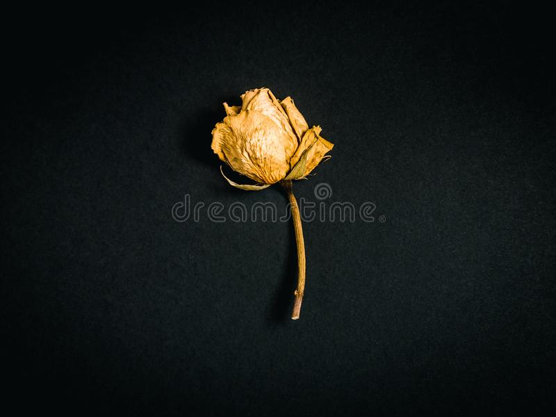 Yellow rose. Dried flower royalty free stock photo