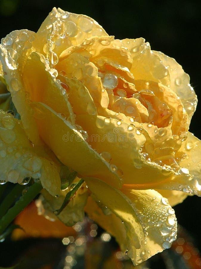 Yellow Rose Drops royalty free stock photos