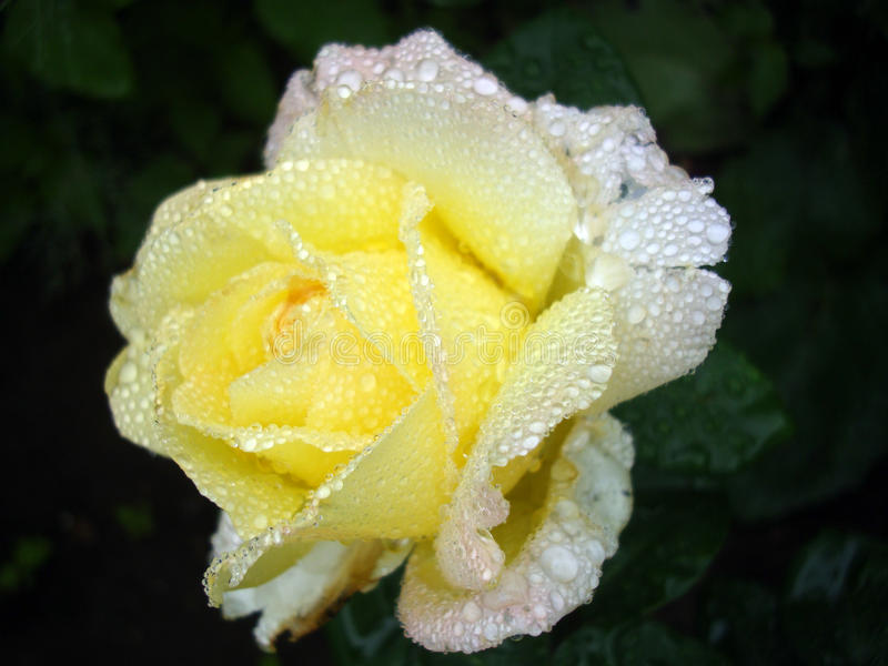 Yellow rose with drops royalty free stock images