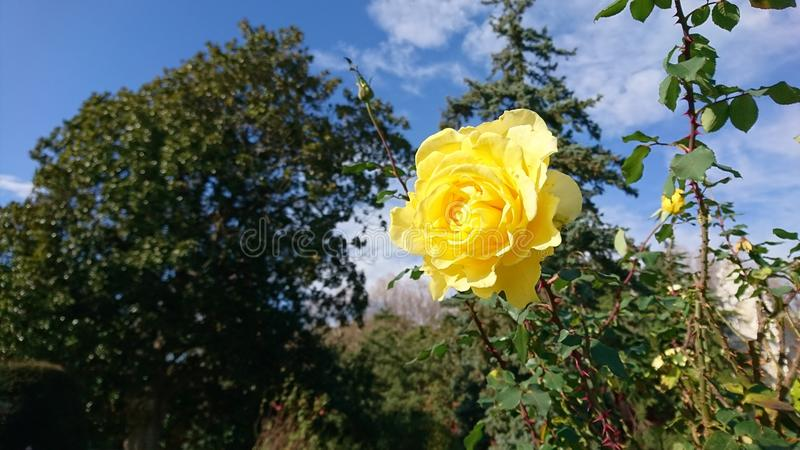 Yellow rose. A yellow rose flower royalty free stock images