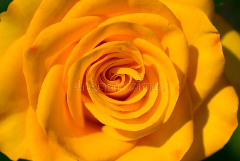 Yellow rose flower. Close-up. Macro. stock image