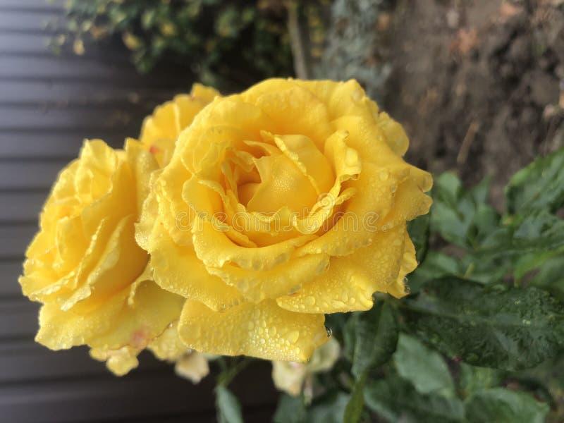 Yellow rose flower. Closeup of shooting. dew drop.  royalty free stock photo