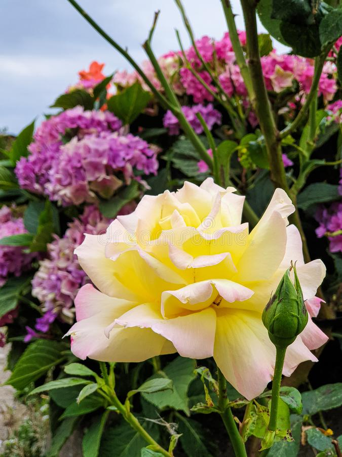 Yellow rose flower in garden. Plant, nature, beautiful, beauty, color, pink, flora, spring, summer, green, natural, bloom, blossom, blooming, floral stock photos
