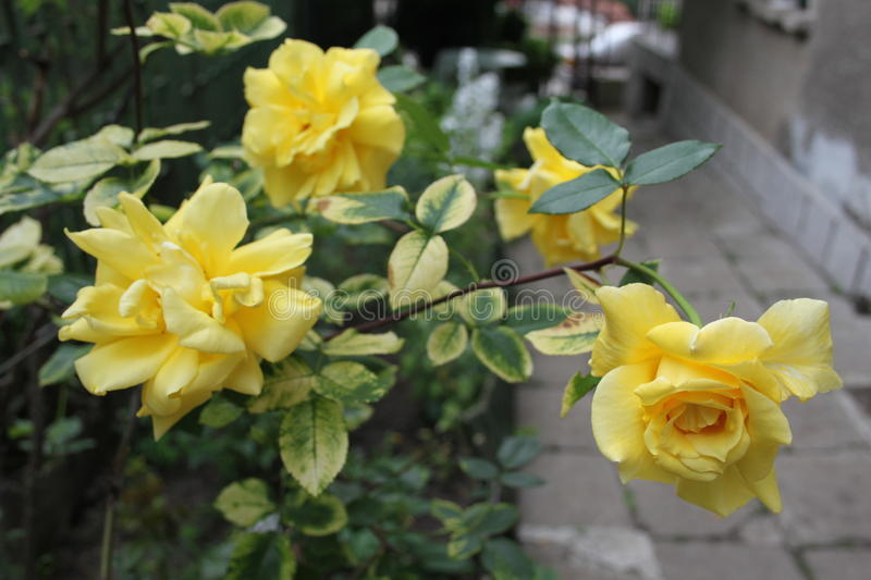 Yellow rose. Flower one of most beautiful kinds of roses and flowers,fresh looking plant royalty free stock photography