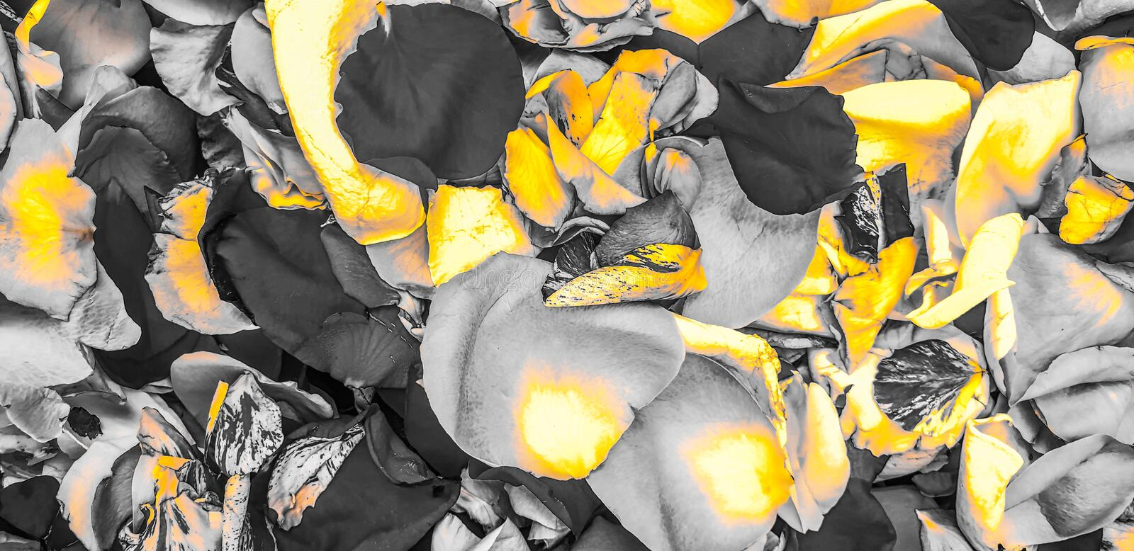 Yellow rose flower petals background stock photo