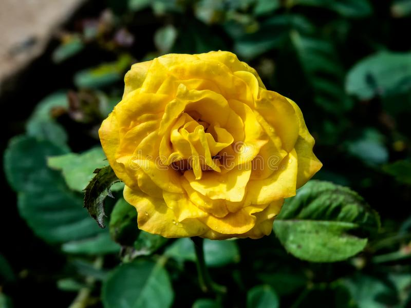 Yellow Rose Flower on Plant - India stock photos