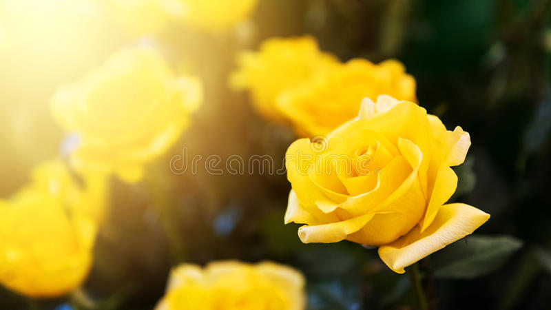 Yellow rose flowers against sunlight royalty free stock photos