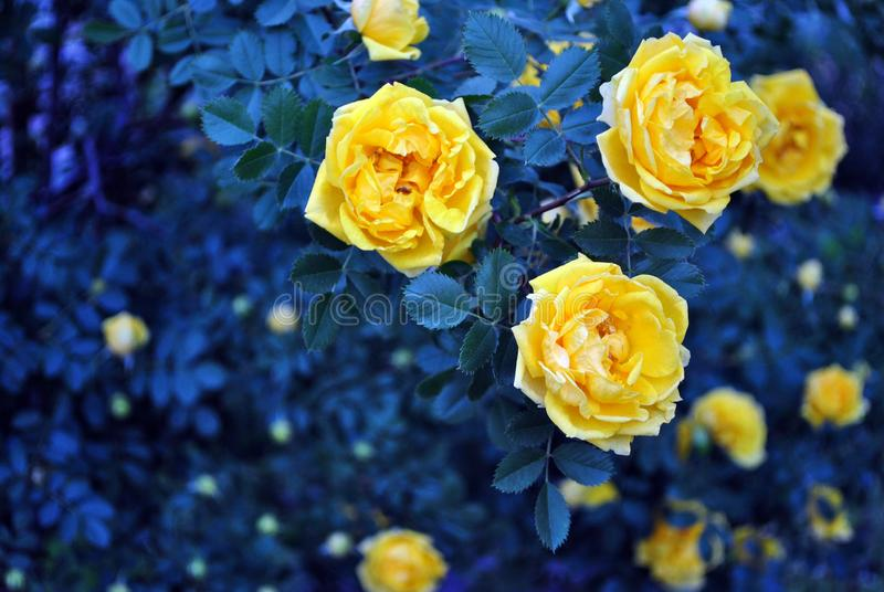 Yellow rose flowers and buds blooming on bush, dark turquoise-green leaves background royalty free stock images