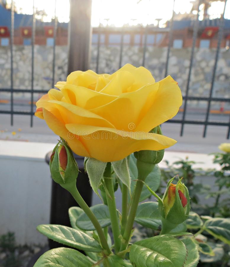 Yellow rose in the garden stock image
