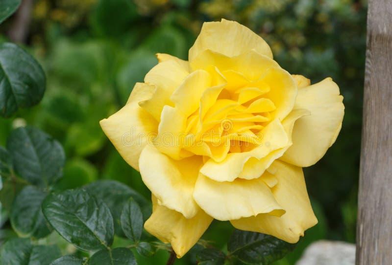 Yellow rose in a garden stock photos