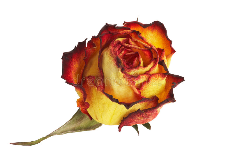Download Yellow Rose - gelbe Rose stock photo. Image of 16, garten - 472610