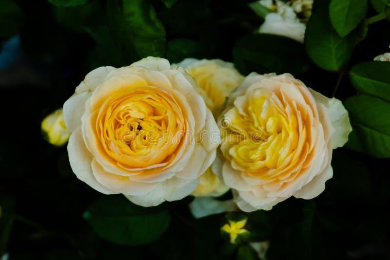 Yellow rose on dark background royalty free stock photos