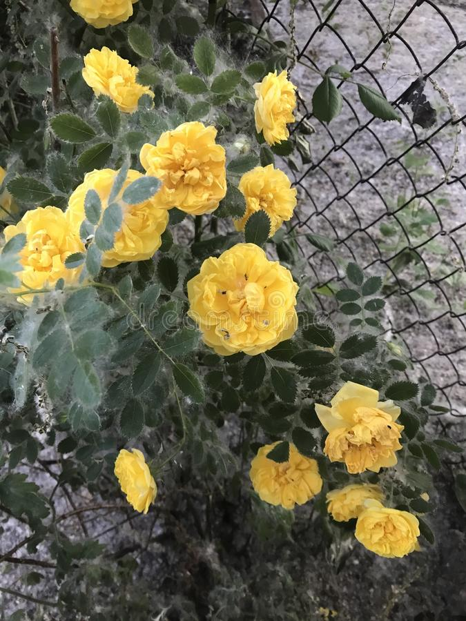 Yellow rose. How beautiful when u see life coming up royalty free stock photos